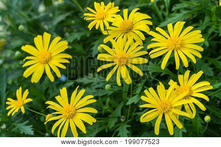 euryops chrysanthemoides, african bush daisy, nine bright daisy flowers on a bush in full bloom, petals and a yellow core, acute, sharp dark green leaves, growing in the garden,