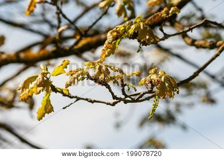 fagaceae quercus robur timuki, small leaves of the tree only begin to grow, spring, cluster of yellow-brown foliage on the branch, the beginning of growth, against the background of a gray-blue sky