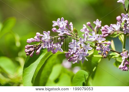 lilacs usual, flowers with four petals, in flowering, in buds, small, against a background of light green young foliage, spring, one branch