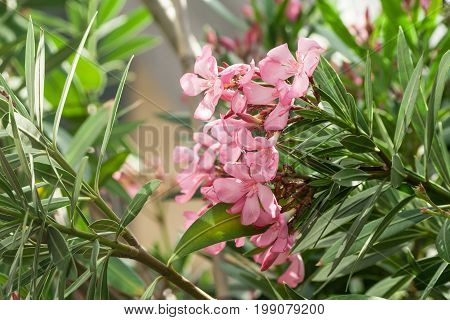 group of beautiful oleander delicate pink exotic, tropical flowers, bunch, light shot in the street, view of flowers from the side, lit by the sun
