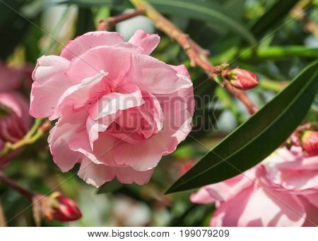 nerium oleander, large flower with a lot of petals of a delicate pink color, resembling a rose, grows in the garden lit by the sun, spring, sunny, near several buds of the plant