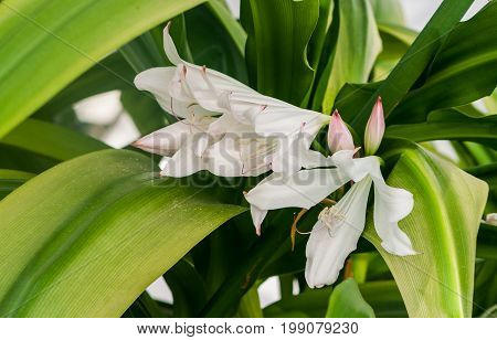 amaryllidaceae crinum moorei hook. f., three blossoming large white with a pink tinge of a flower and several pink light buds surrounded by long green leaves of a plant, growing in garden, pale pink