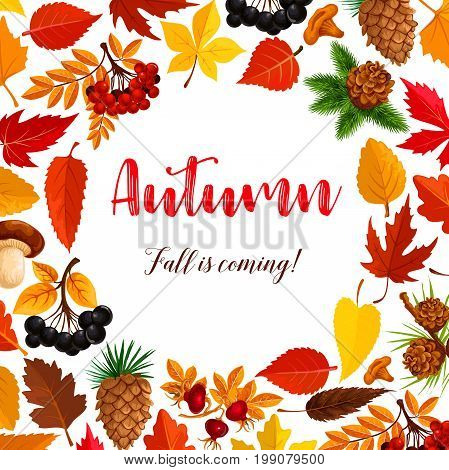 Autumn is coming seasonal greeting poster of maple leaf, oak acorn and rowan berry harvest. Vector nature falling leaves and berries of elm, birch or aspen tree and pine cones for September holiday