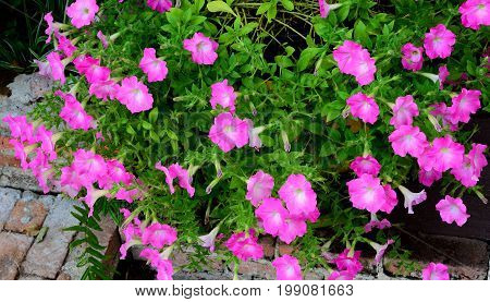 Group of Morning glory pink flower in pot.
