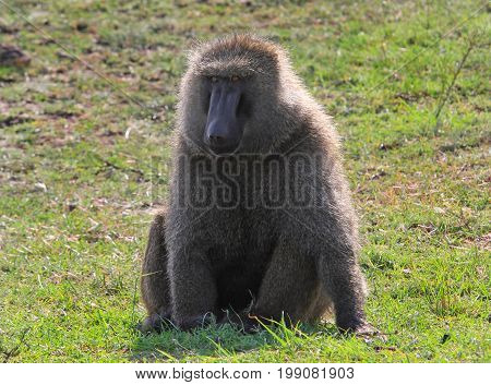 A Large Alpha Male Babboon sitting on the lush green grass on the African Plains