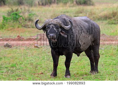 Large Female Cape Buffalo standing on the lush African plains with mouth open chewing. Masai Mara Kenya