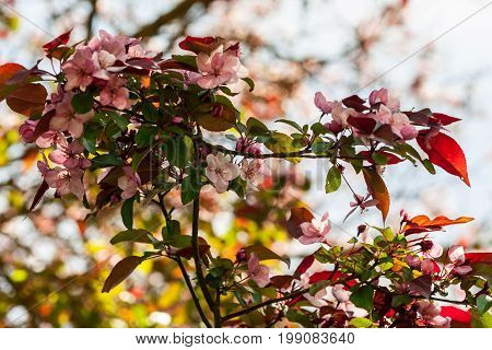 rosaceae malus x purpurea, a large branch with flowering small flowers light and pink against a gray sky, a spring period, a sunny day,