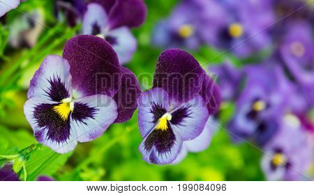 viola a lot flowers of beautiful lilac-burgundy color,  spring sunny day, full bloom, dark purple upper petal and yellow core,  two pieces, in the background the same flowers