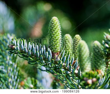 part of the coniferous tree on the right side of the picture on a blurred background of  green grass, on the branch five large green young cones grow up, spring, sunny day, blue spruce,
