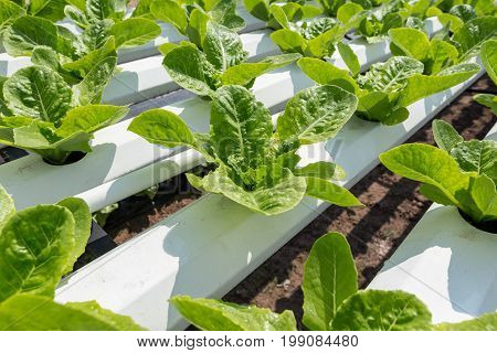 Green lettuce cultivation on hydroponic technology system