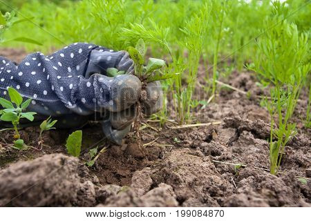 closeup of hand weeding bed with carrot in the vegetable garden