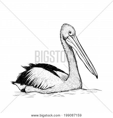 Pelican bird sketch black and white hand drawing. Vector illustration of a pelican