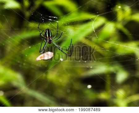 A spider of the species tetragnathidae crawling towards its prey.