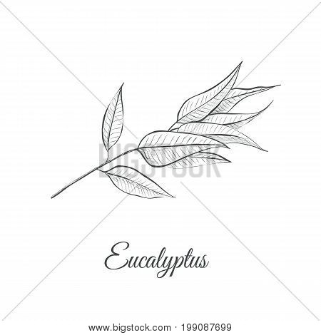 Eucalyptus (Eucalyptus Globulus) sketch vector illustration. Eucalyptus design hand drawing