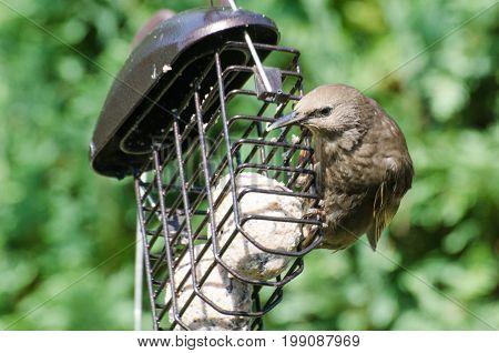 Juvenile starling feeding on Fatball in garden feeder