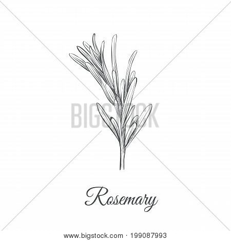 Rosemary sketch hand drawing. Rosemary (Rosmarinus cineoliferum) vector illustration