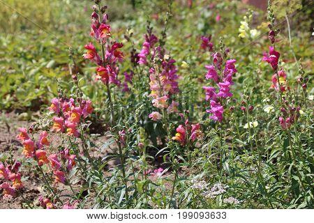 Snap dragon flower Antirrhinum majus blooming in garden