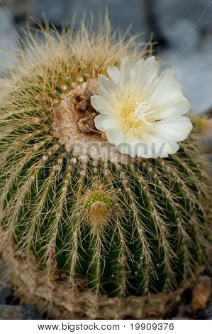 flower on a cactus