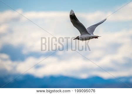 Seagull in flight. Bird on the sky background. The background is blurred.