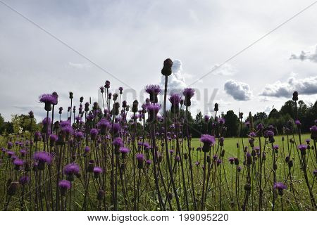 Creeping Thistle (Cirsium arvense) with a green field and a sky with clouds in background picture from the North of Sweden.