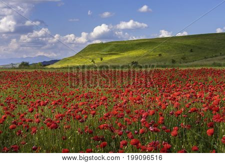 Wild Poppy Fields