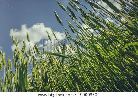 Unripe Wheat Field Closeup