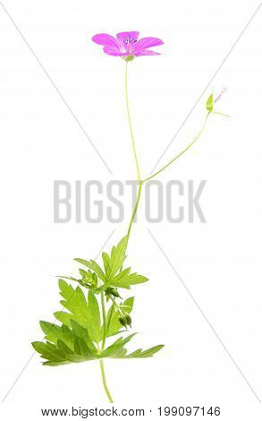 Pink flower of Marsh Cranesbill (Geranium palustre) isolated on white background
