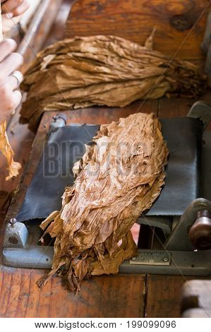 Dried tobacco leaves in the storeon cigar roller machine cuba Dominican republic