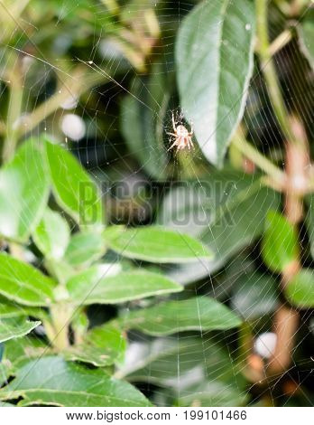 Scary Creepy Crawly Spider (zilla Diodia) Waiting Attached To Web Up Close Uk Outside Leaves