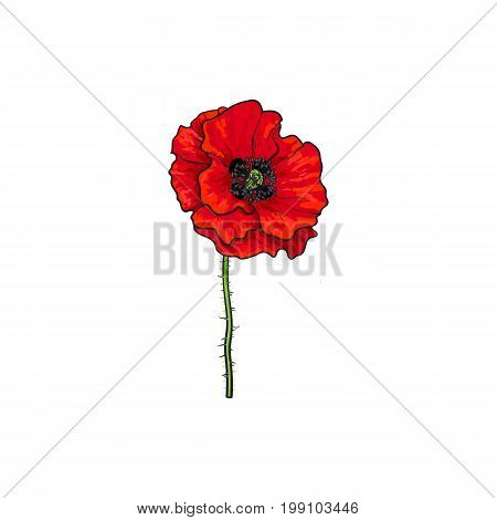 Vector red poppy flower blooming. Isolated illustration on a white background. Realistic hand drawn blossom with stem. Floral design object. Summer, spring sign, symbol.