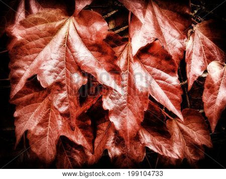 Closeup of a wall full of red ivy leaves.