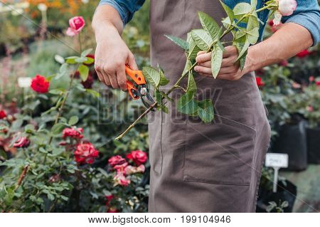 Partial View Of Gardener In Apron Cutting Rose With Pruning Shears