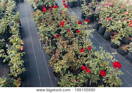 High Angle View Of Red Roses Potted In Flowerpots In Greenhouse