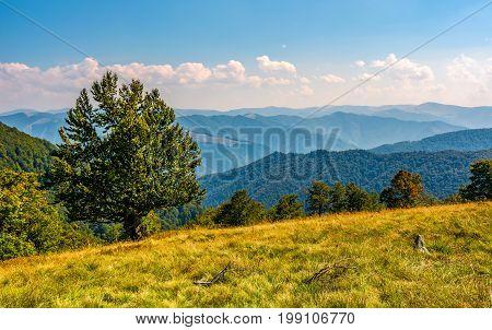 Huge Beech On The Edge Of A Grassy Hillside