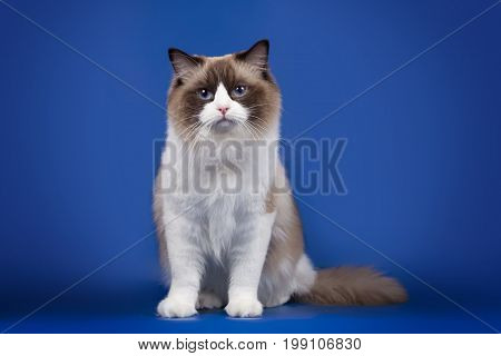 A rag doll of a cat sits on a blue background. Cat with blue eyes.