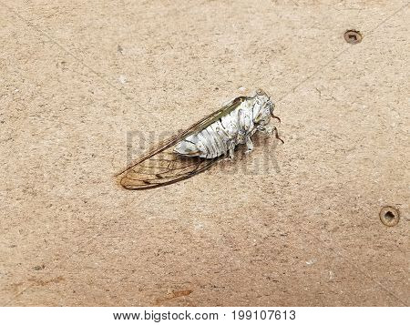 dead cicada laying on a brown composite wood deck