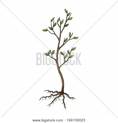 Seedling tree with roots, sketch illustration. Vector