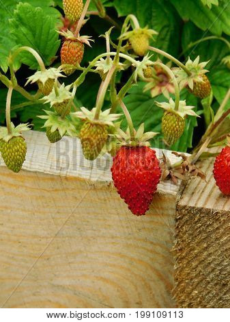 Strawberries are riping on a branch in a garden. Outdoor shot