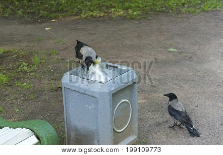 crow digs in the trash trashcan 2 crows birds Raven garbage urn