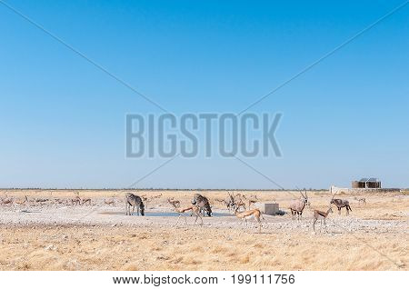 Oryx also called gemsbok Burchells zebras and springboks at a waterhole in Northern Namibia
