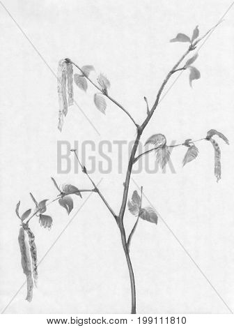 A branch of a birch tree flowering ink painting. Traditional chinese painting