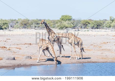 Three Namibian giraffes giraffa camelopardalis angolensis one drinking water at a waterhole in northern Namibia