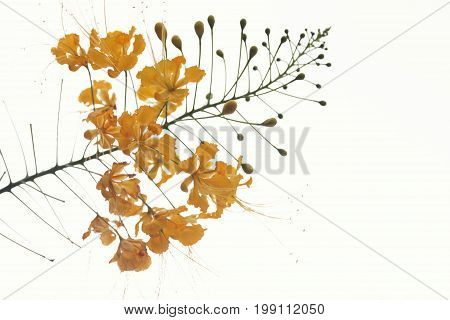 Yellow dwarf Poinciana is a beautiful flower On a white background.