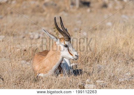 A springbok Antidorcas marsupialis laying between grass in Northern Namibia