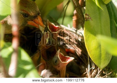 Female cardinal on the edge of the nest with green food in her beak for her three chick that are in the nest with their beaks open wide.