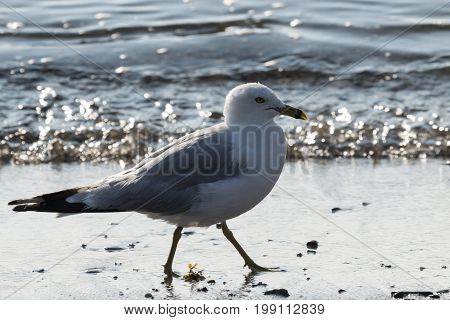 A large and very clean seagull is walking on the sand at a beach with sunlight shimmering off of the water on an early August morning in Maine.