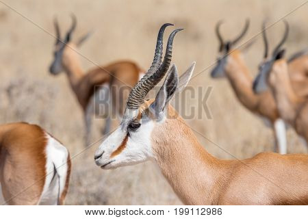 A close-up of a springbok Antidorcas marsupialis in Northern Namibia