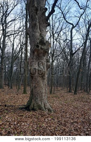 A majestic oak tree stands in the Hammel Woods Forest Preserve in Shorewood, Illinois.