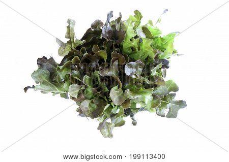 red oak lettuce vegetable isolated on white