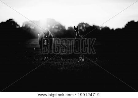 Classic Black And White Photo Of Mother Horse With Foal On Farmland At Sunset.